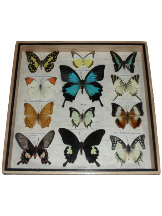 Real 12 Mix Butterfly for sale in wood frame Taxidermy