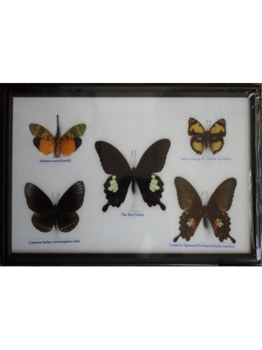 REAL 5 BEAUTIFUL BUTTERFLY Framed