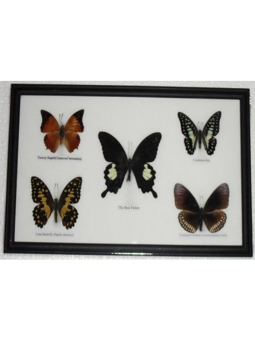 REAL 5 BEAUTIFUL BUTTERFLY Collection Framed