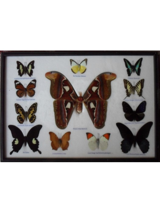REAL 12 BEAUTIFUL BUTTERFLIES Moth Collection Taxidermy in frame