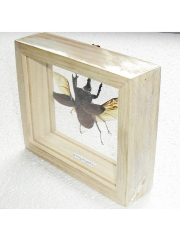 Real Fighting Beetle Xylotrupes Gideon insect Taxidermy Double glass in framed