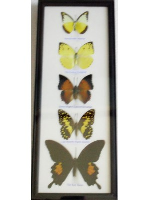 REAL 5 BEAUTIFUL BUTTERFLY wall decor Collection Taxidermy Frames
