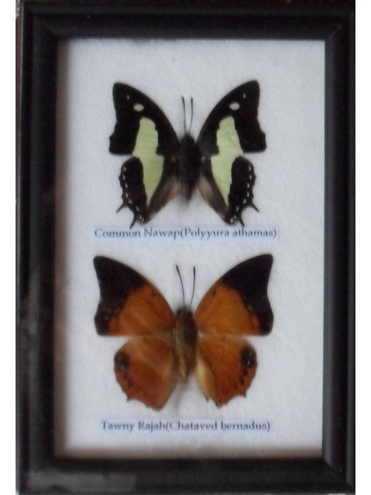 REAL 2 BEAUTIFUL BUTTERFLY Collection in Frame