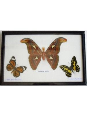 Real Butterflies Moth(M) Taxidermy in frame
