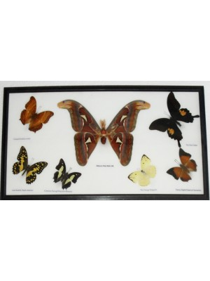 7 Real Butterflies Moth(M) collection Taxidermy framed