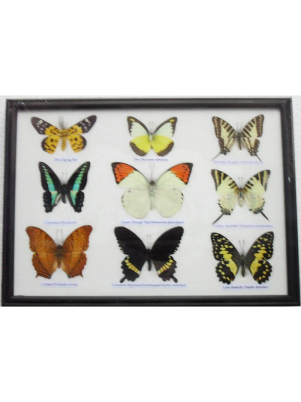 Real 9 Beautiful Framed Butterfly Shop For Sale Collections,Gifts ...