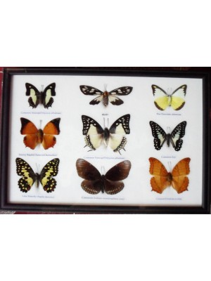 Real 9 Beautiful Framed Butterfly Shop For Sale Collections,Gifts Taxidermy