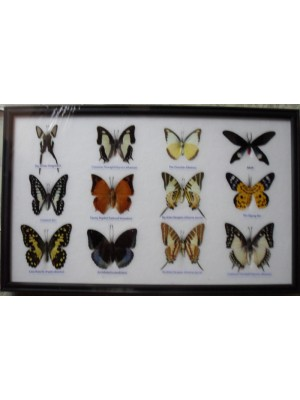 Real 12 Beautiful Mounted Framed Butterflies From Nature Gifts In Frame Taxidermy