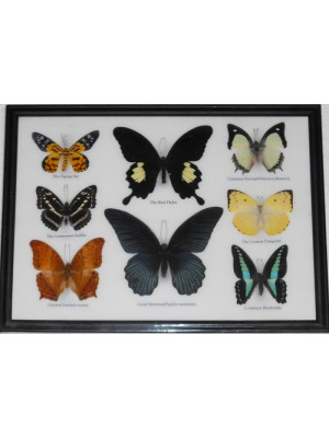 Real 8 Beautiful Framed Butterfly Shop For Sale Collections Gifts Taxidermy