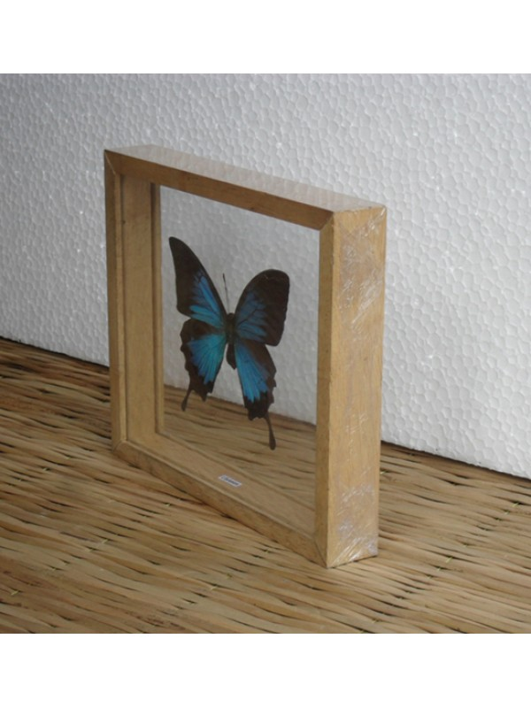 REAL MORPHO Butterfly Taxidermy Double Glass in Frame