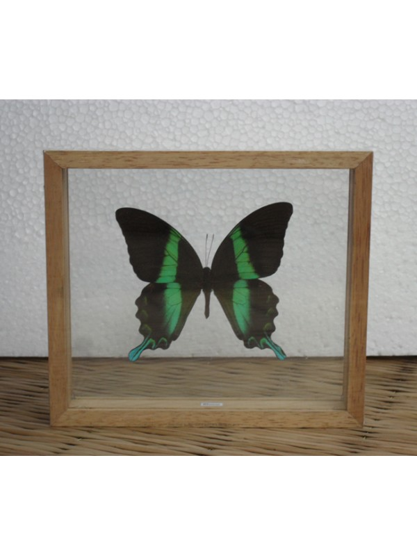 REAL BLUMEI BUTTERFLY Taxidermy Double Glass in Frame