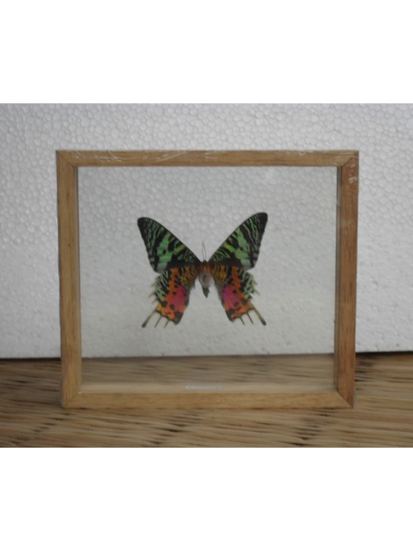 REAL MADAGASCAR BUTTERFLY Taxidermy Double Glass in Frame