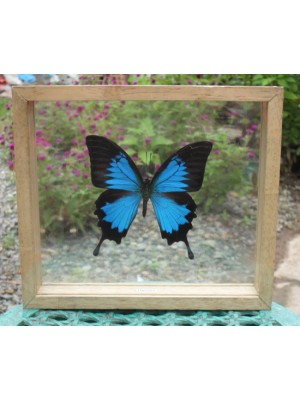 REAL ULYSSES BUTTERFLY Taxidermy Double Glass in Frame