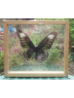 REAL BLUEKIANA BUTTERFLY Taxidermy Double Glass in Frame
