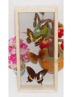4 REAL mixed BUTTERFLIES Taxidermy Double Glass in Frame
