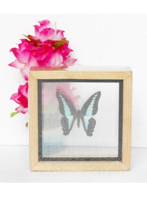 Real Single Butterfly The common Bluebottle Taxidermy Double glass in framed