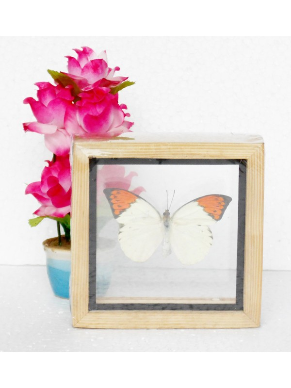 Real Single Butterfly The Great Orange Tip Taxidermy Double glass in ...