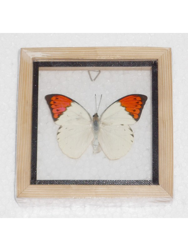 Real Single Butterfly The Great Orange Tip Taxidermy Double glass in framed