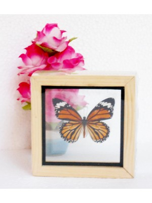 Real The Common Tiger Danaus genutia Butterfly insect Collectible Taxidermy Double glass in framed