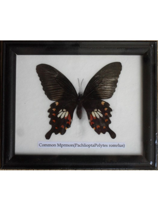 Real Single Common Mormon Butterfly Taxidermy in Frame