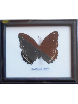 Real Single Danaid Eggfly Butterfly Butterfly Taxidermy in Frame
