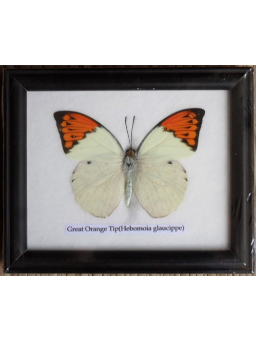 Real Single Great Orange Tip Butterfly Taxidermy in Frame