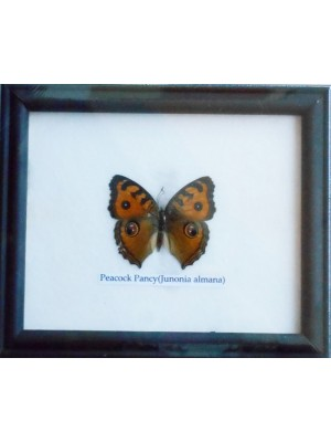 Real Single Peacock Pansy Butterfly Taxidermy in Frame