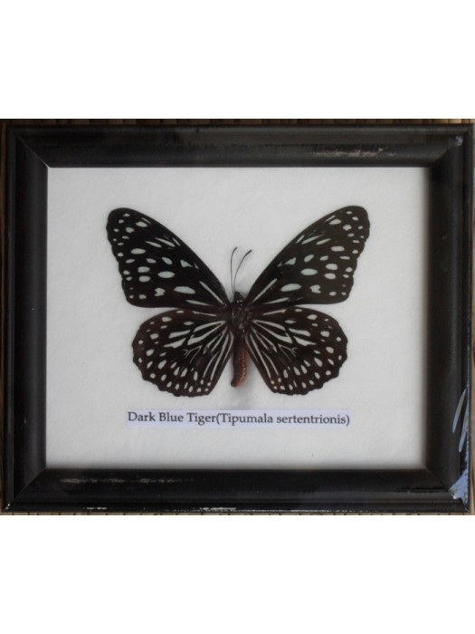 Real Single Dark Blue Tiger Butterflies Taxidermy in Frame