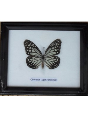 Real Single Chestnut Tiger Butterfly Taxidermy in Frame