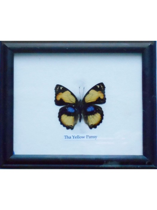 Real Single Yellow Pansy Butterfly Taxidermy in Frame