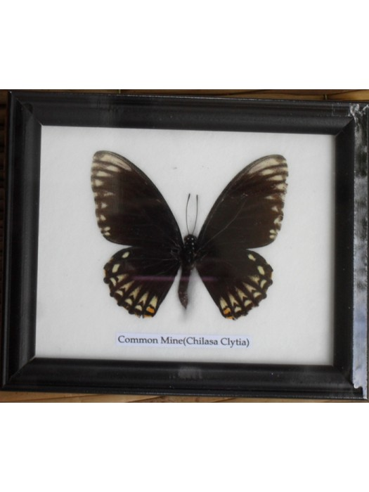 Real Single Common mine Butterflies Taxidermy in Frame