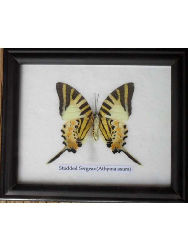 Real Single Studded Sergeant Butterflies Taxidermy in Frame