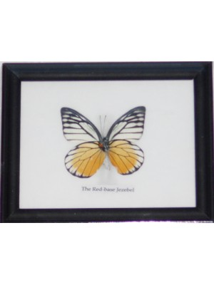 Real Single Lime butterfly Taxidermy in Frame