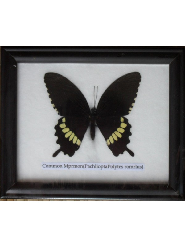 Taxidermy Supply - Real Framed Butterflies for sale