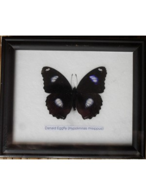 Real Single eggfly Butterflies Taxidermy in Frame
