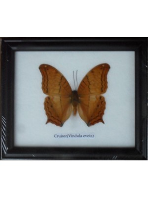 Real Single Cruiser Butterfly Taxidermy in Frame