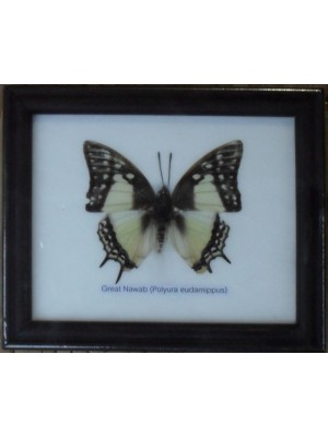 Real Single Great Nawab Butterfly Taxidermy in Frame
