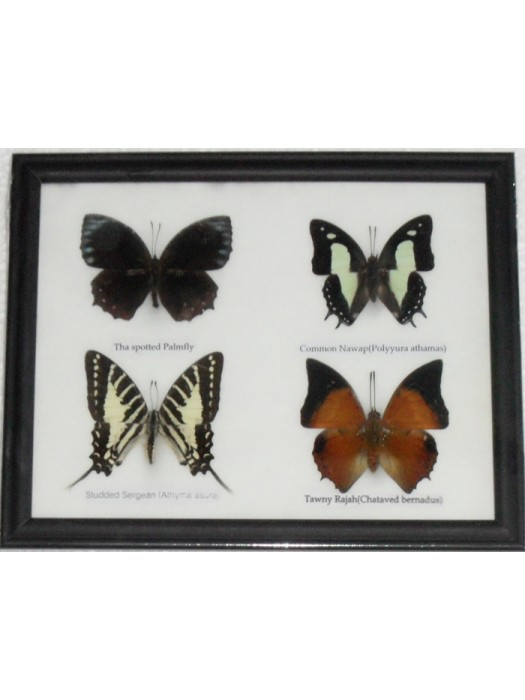 REAL 4 BEAUTIFUL BUTTERFLY Taxidermy Framed