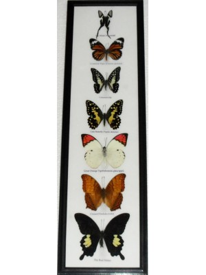 7 Real Butterfly Vertical Collection Taxidermy Frames
