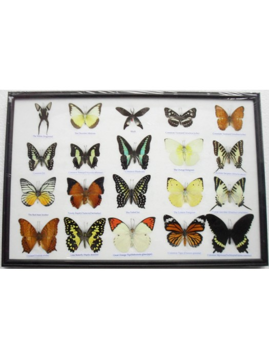 REAL 20 MIX BUTTERFLIES Collection Taxidermy Framed