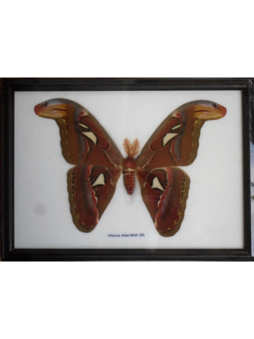 Real Attacus Atlas Moths(M) Butterfly Insect Gift Taxidermy in frame