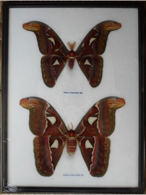 Real Attacus Atlas Moths(M & F) Butterfly Insect Taxidermy in frame