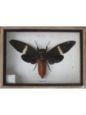 Real GAEANE SP CICADA Taxidermy in Wooden Box