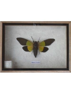 Real MANA CICADA Insect Taxidermy in Wooden Box