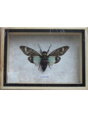 Real CICADICAE SP CICADA Insect Taxidermy in Wooden Box