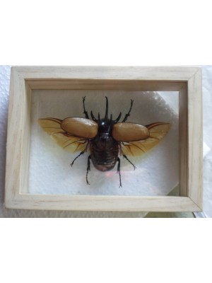 Real 5 Horned Gracilicornis Beetle Insect Taxidermy Double Glass in Frame