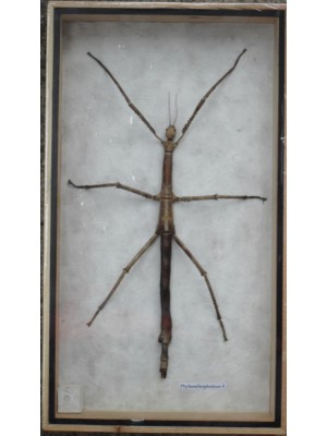 REAL Walking Stick insect Taxidermy Collection in wooden box