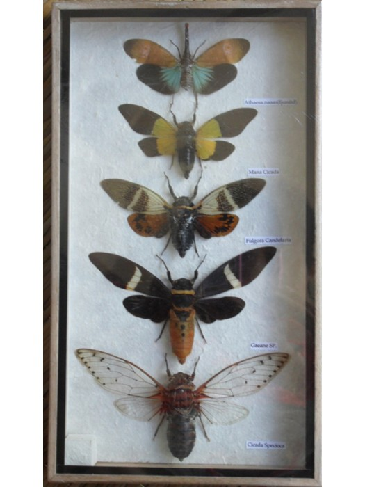 5 Real CICADA Insect Taxidermy Collection in wooden box