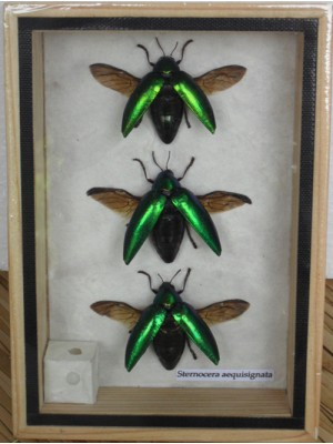 3 REAL Jewel Beetle Sternocera Aeguisignata Insect Bug taxidermy in Box