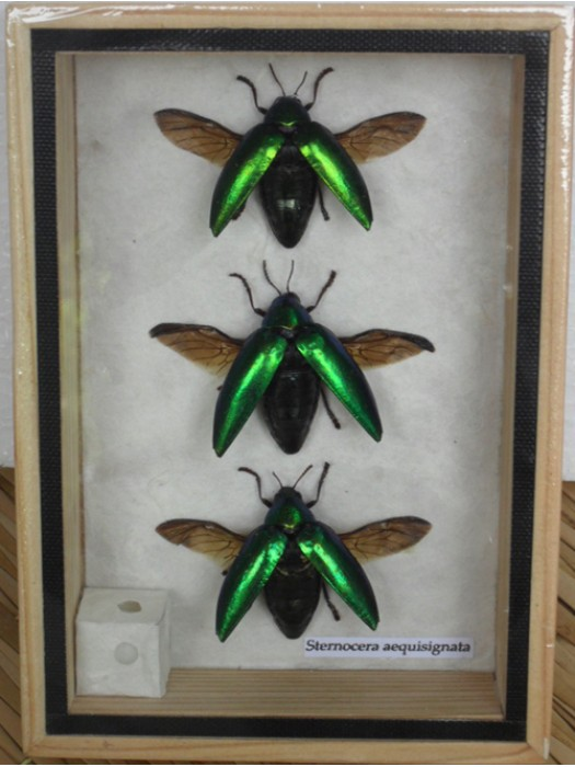 3 REAL Jewel Beetle Sternocera Aeguisignata Insect Bug taxidermy in Box